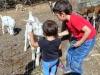 goat-feeding-2
