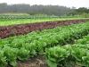 lettuce-61510-lrg