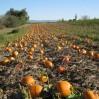 field pumpkins 2010