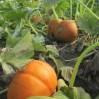 pumpkin patch 2013 2