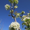 pear blossoms3