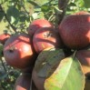 Pear_orchard_16