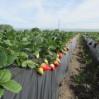 strawberries 1st csa week