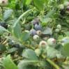 blueberries ripen