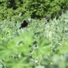 cover crop with blackbirds