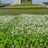 alyssum greenhouse