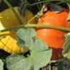 cinderella-pumpkins