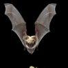 yuma-myotis-bat