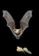 A Myotis yumanensis hunting a moth. Photo credit: Michael Durham
