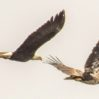 bald-eagles-flying-cropped