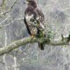 bald-eagle-fledgling-closeup